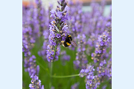 Bumblebee on a stalk of lavender flowers
